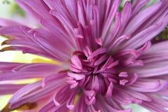 Fuscia coloreó el aster macro fotos de archivo