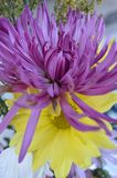 Fuscia colored aster and yellow daisy in bouquet Stock Photos