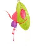 Fuscia flower Stock Photos