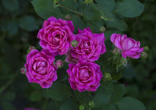 Fuscia rosor på en buske royaltyfri fotografi