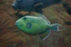 fuscus Jaune-repéré de Pseudobalistes de triggerfish Photos libres de droits
