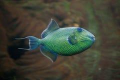 fuscus Jaune-repéré de Pseudobalistes de triggerfish Images libres de droits