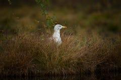 Fuscus Larus Сфотографированный в Финляндии Живая природа Финляндии свободная природа Стоковая Фотография RF