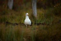 Fuscus Larus Сфотографированный в Финляндии Живая природа Финляндии свободная природа Стоковая Фотография