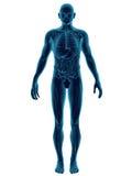 Fuselage humain transparent Image stock