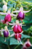 Fushia blommor Royaltyfria Foton