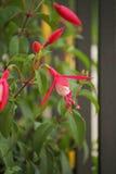 Fushia cor-de-rosa Fotografia de Stock