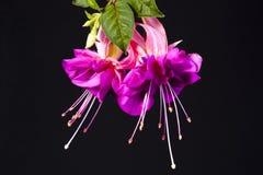Fushia flower. Duo of fushia flowers against black background Stock Image