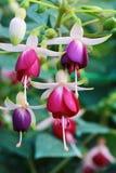Fushia kwiaty Zdjęcia Royalty Free