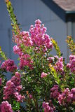 Fushia Lilacs in the Sun Royalty Free Stock Photo