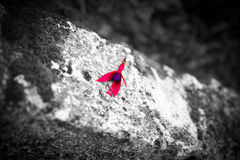 Fushia petals. On top of wall Royalty Free Stock Image