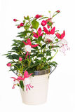 Fushia Plant Stock Photos