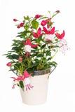 Fushia roślina Zdjęcia Stock