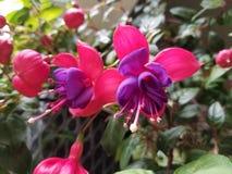 Fushias in der Blüte Lizenzfreies Stockbild