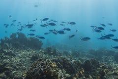 Fusilier de bleu et d'or à l'île de Similan photos stock