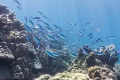 Fusilier Fische des Blaus und des Goldes Stockfoto