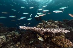Fusiliers and coral in the Red Sea. Stock Images