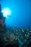 Fusiliers di Goldband e siluette degli operatori subacquei di scuba Immagini Stock Libere da Diritti