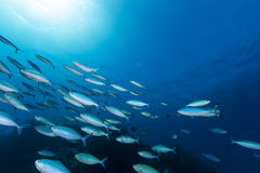 Fusiliers in the tropical waters of the Red Sea. Stock Photos