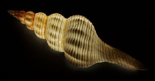 Fusinus Spiral Shell Royalty Free Stock Image