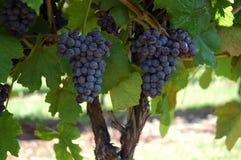 Fusion de vigne Photos libres de droits