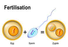 Fusion of two haploid gametes to form a diploid zygote. Fertilization. Zygote is egg plus sperm genetically different individuals. Fusion of two haploid gametes vector illustration