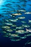 Fusione dei pesci Fotografie Stock Libere da Diritti