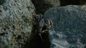 Fusiones del cangrejo con las piedras mojadas Fotografía de archivo
