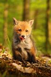 Fussy little fox. Adorable young fox in wild nature stock image