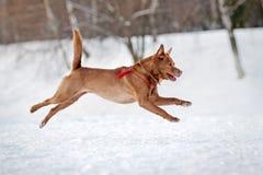 Cão de Brown que funciona no inverno Imagens de Stock Royalty Free