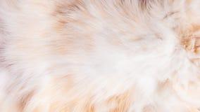 Futerko na brzuchu kremowy kot, tekstura, tło fotografia stock