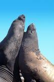 futerkowa foka dwa Obrazy Royalty Free