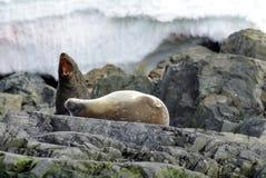 Futerkowa foka i Weddell foka na skałach w Antarctica Obraz Royalty Free