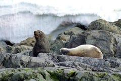 Futerkowa foka i Weddell foka na skałach w Antarctica Zdjęcia Royalty Free