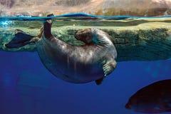 Futerkowa foka jest sportowa w wodzie Piękna i szybka foka bawić się w słońcu przy powierzchnią woda Obraz Stock