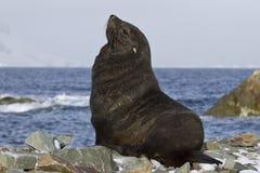 Futerkowa foka która siedzi na skalistej plaży Antarktycznej Fotografia Royalty Free