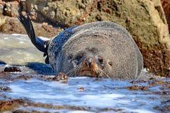 Futerkowa foka na Południowej wyspie, Nowa Zelandia Zdjęcie Stock