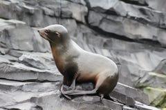 Futerkowa foka na skale Obrazy Royalty Free