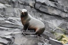Futerkowa foka na skale Fotografia Stock