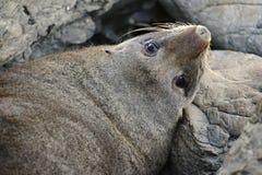 Futerkowa foka na zegarka obowiązku Fotografia Stock