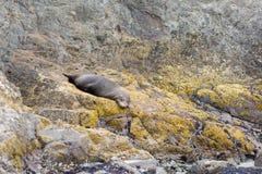 Futerkowa foka Nowa Zelandia Fotografia Royalty Free