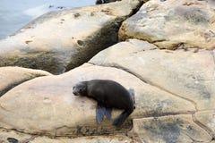 Futerkowa foka - NZ przyroda Fotografia Royalty Free