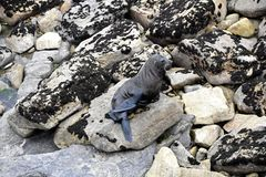 Futerkowa foka - NZ przyroda Obrazy Stock