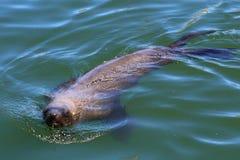 Futerkowa foka Południowa Afryka Zdjęcie Royalty Free
