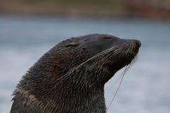 Futerkowa foka, Południowy Gruzja Fotografia Stock