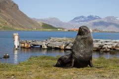 Futerkowa foka, Południowy Gruzja Fotografia Royalty Free