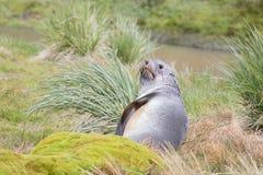 Futerkowa foka, Południowy Gruzja Zdjęcie Stock