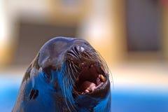 Futerkowa foka - portret z otwartym usta Obrazy Stock