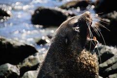 Futerkowa foka przy Godthul Zdjęcie Royalty Free