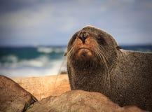 Futerkowa foka przy wybrzeżem Obrazy Royalty Free